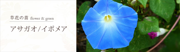 草花の苗:アサガオ イポメア