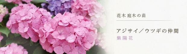 花木 庭木の苗:アジサイ(紫陽花)ウツギの仲間