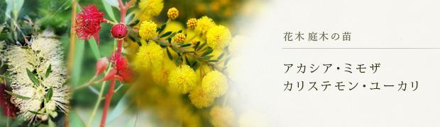 花木 庭木の苗:アカシア(ミモザ)カリステモン ユーカリ