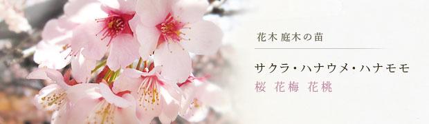 花木 庭木の苗:サクラ(桜)ハナウメ(花梅)ハナモモ(花桃)