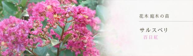 花木 庭木の苗:サルスベリ(百日紅)