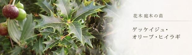 花木 庭木の苗:ゲッケイジュ オリーブ ヒイラギ