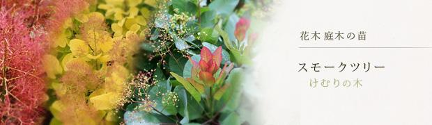 花木 庭木の苗:スモークツリー(けむりの木)