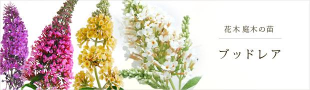 花木 庭木の苗:ブッドレア