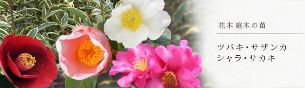 花木 庭木の苗:ツバキ・サザンカ・シャラ・サカキ