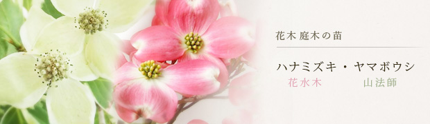 花木 庭木の苗:ハナミズキ(花水木) ヤマボウシ(山法師)