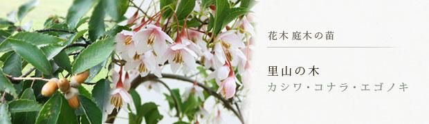 花木 庭木の苗:里山の木(カシワ・コナラ・エゴノキ)
