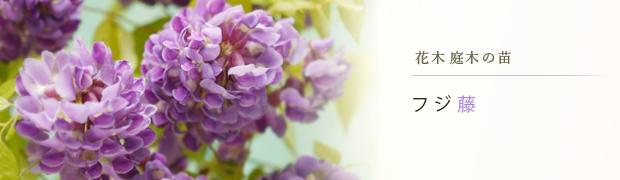花木 庭木の苗:フジ(藤)ハギ(萩)