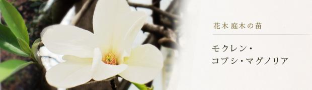 花木 庭木の苗:モクレン コブシ マグノリア