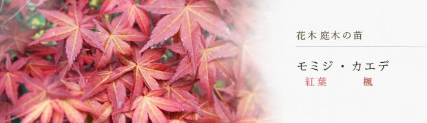 花木 庭木の苗:モミジ(紅葉) カエデ(楓)