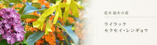 花木 庭木の苗:ライラック モクセイ レンギョウ