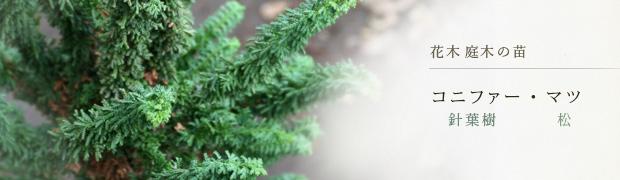 花木 庭木の苗:コニファー(針葉樹)マツ(松)