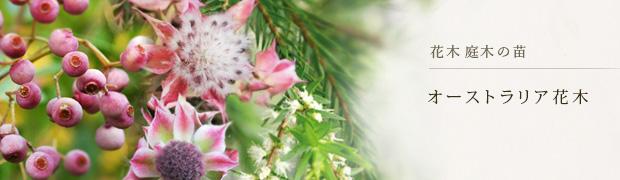 花木 庭木の苗:オーストラリア花木