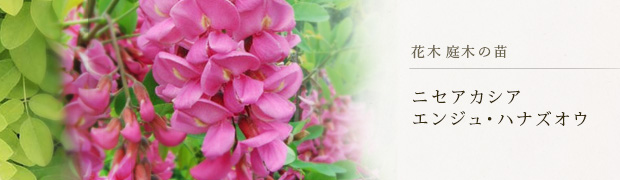 花木 庭木の苗:ニセアカシア エンジュ ハナズオウ