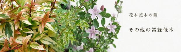 花木 庭木の苗:その他の常緑低木