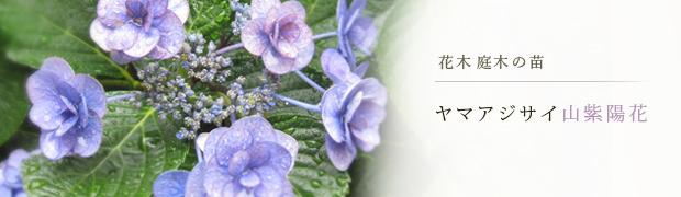 花木 庭木の苗:ヤマアジサイ(山紫陽花)