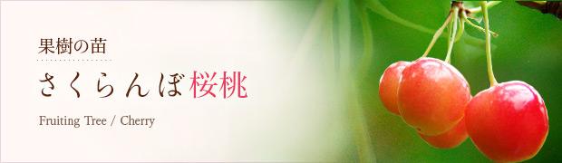 果樹の苗:さくらんぼ(桜桃)
