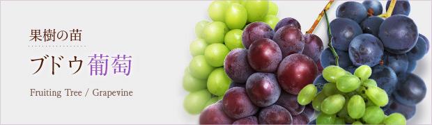 果樹の苗:ブドウ(葡萄)