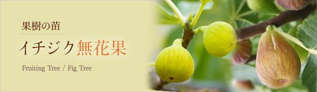 果樹の苗:イチジク(無花果)