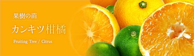 果樹の苗:カンキツ(柑橘)