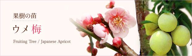 果樹の苗:ウメ(梅)