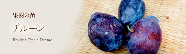 果樹の苗:プルーン