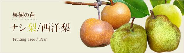 果樹の苗:ナシ(梨) 西洋梨