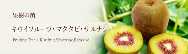 果樹の苗:キウイフルーツ マタタビ サルナシ