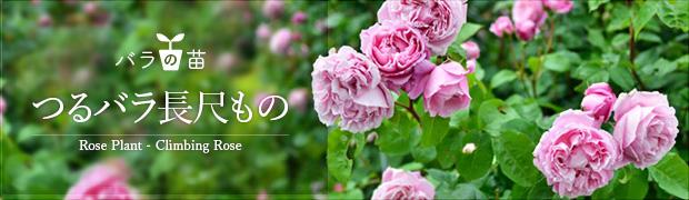バラの苗:つるバラ長尺もの