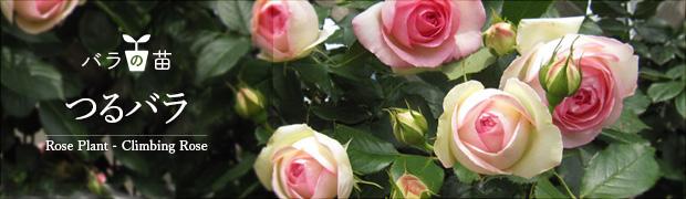 バラの苗:つるバラ