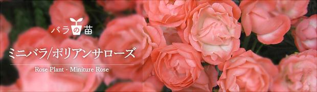 バラの苗:ミニバラ ポリアンサローズ
