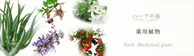 ハーブの苗:薬用植物