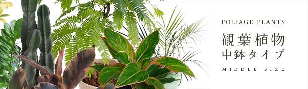 観葉植物:中鉢タイプの観葉植物
