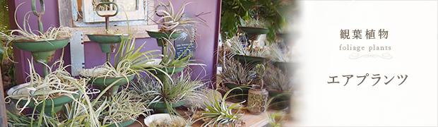 観葉植物:エア プランツ