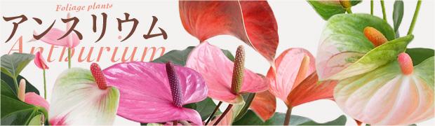 観葉植物:アンスリウム