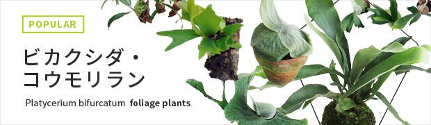 観葉植物:ビカクシダ・コウモリラン