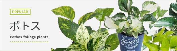 観葉植物:ポトス