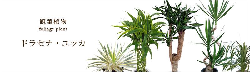観葉植物:ドラセナ