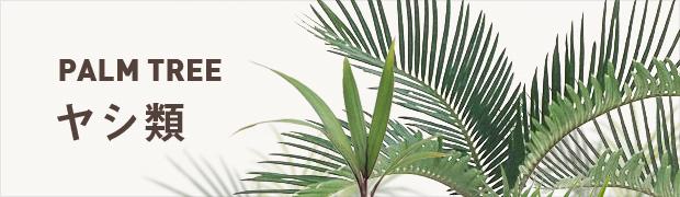 観葉植物:ヤシ