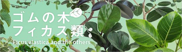 観葉植物:ゴムの木・フィカス類