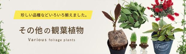 観葉植物:その他の観葉植物