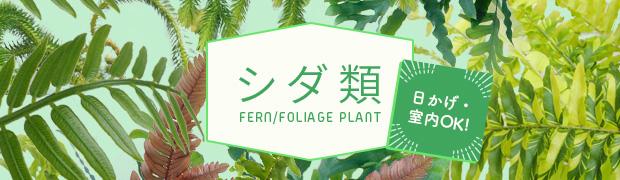 観葉植物 シダ類
