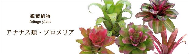 観葉植物:アナナス・パイナップル類
