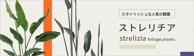 観葉植物:ストレリチア