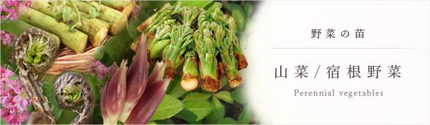 やさいの苗:山菜 宿根野菜