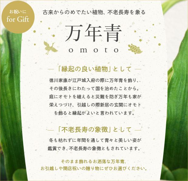観葉植物:万年青