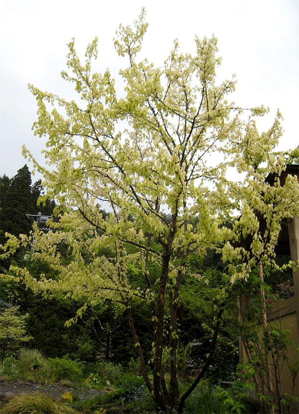 花散里の画像 p1_8