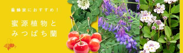 季節の特集:蜜源植物とみつばち蘭