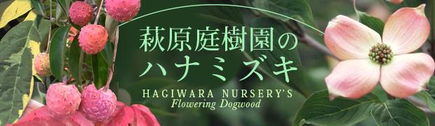 季節の特集:萩原庭樹園のハナミズキ