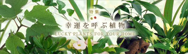 季節の特集:幸運を呼ぶ植物